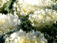 Декоративная капуста для клумбы: от семян до выращивания удивительной травы + фото
