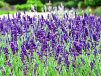 Лаванда на дачном участке — великолепный цвет и запах под окном + фото
