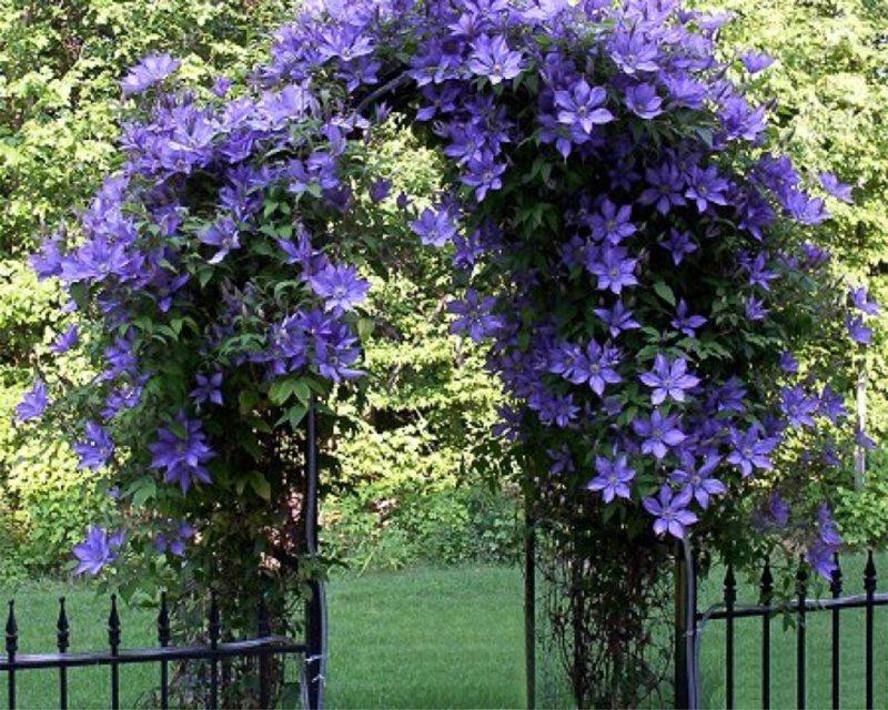 Фото цветов плетущихся